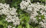 Sceach, bláth bán na Bealtaine - Whitethorn or Hawthorn blossoms