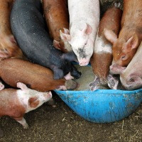 Rejected General Election Pigs Looking For A Trough