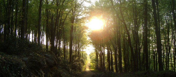A road or path through a summer wood of tall trees at sunset